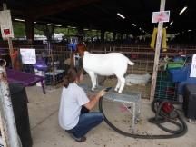Zelfs de geitjes worden gewassen en gedroogd