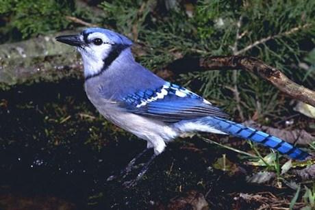 """De 'Blue Jay"""": de kleur is echt zo mooi!"""
