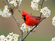 The red cardinal...