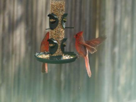 Red Cardinals komen smullen!