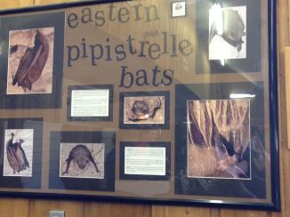 Of course there are some pipistrelle bats!