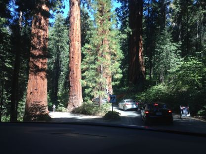 Nog meer sequoia's...