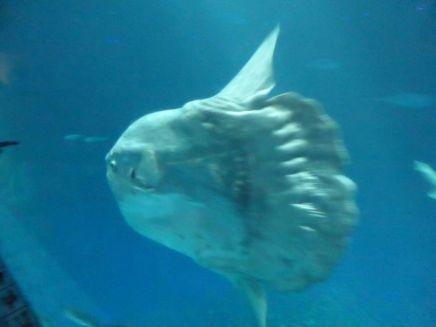 Sun fish: vis zonder lijf....