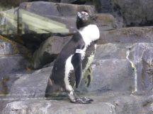 Pinguïns...