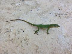 Gekko, salamander of hagedis, wie zal het zeggen?