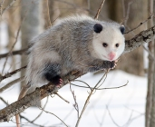 Opossum...