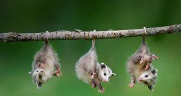 Baby opossums...