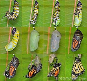 monarch-butterfly-life-cycle
