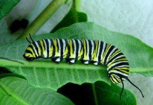 Monarch-caterpillar