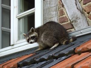 raccoon-on-roof
