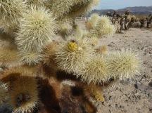 Cholla cactus...
