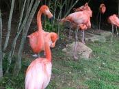 Caribian flamingos